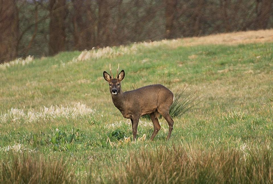 roe-deer-720355_960_720